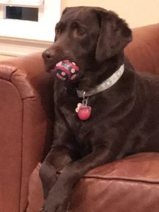 Penny, my chocolate labrador with a Red Sox ball in her mouth. I love dogs.